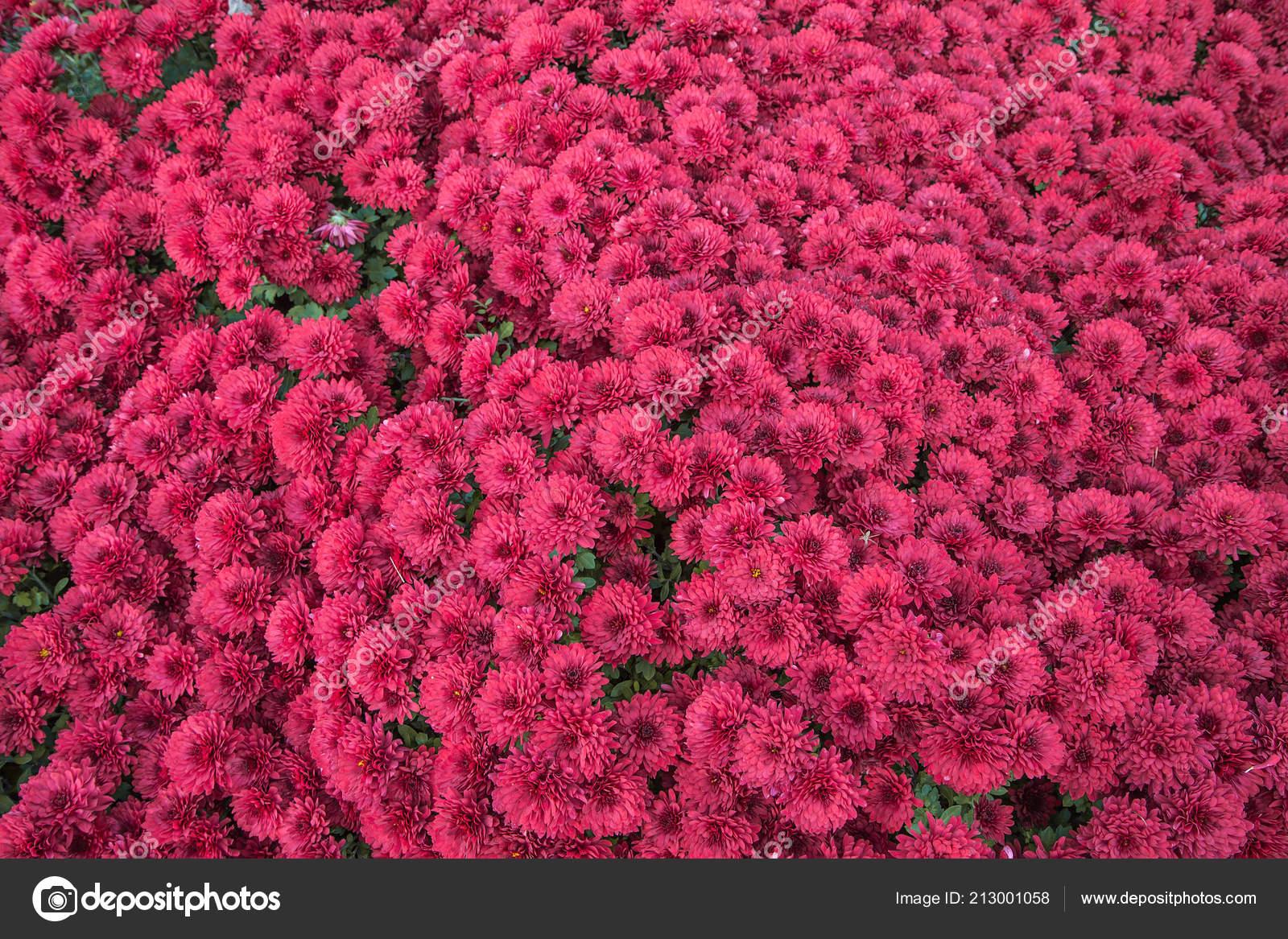 Crisantemo Piccolo Viola Piante Giardino Autunnali Sfondo Fiori