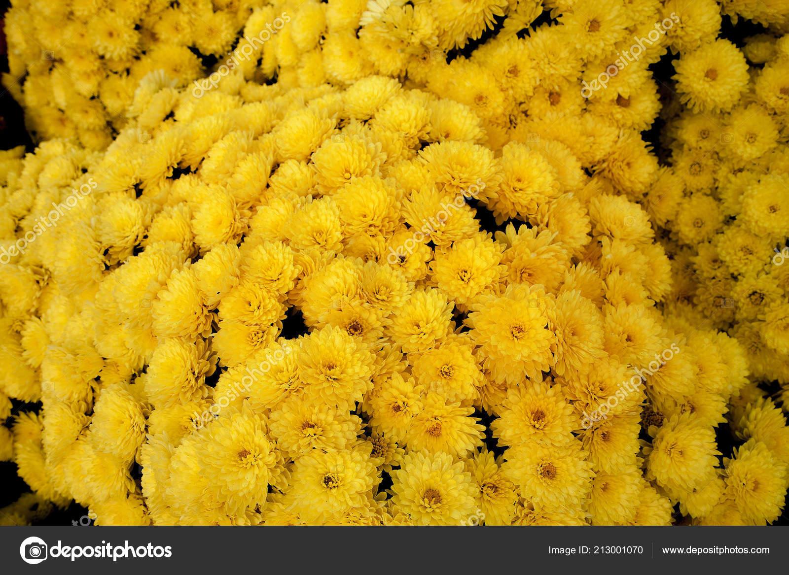 Buisson Chrysantheme Petit Jaune Plantes Jardin Automne Fond Fleurs
