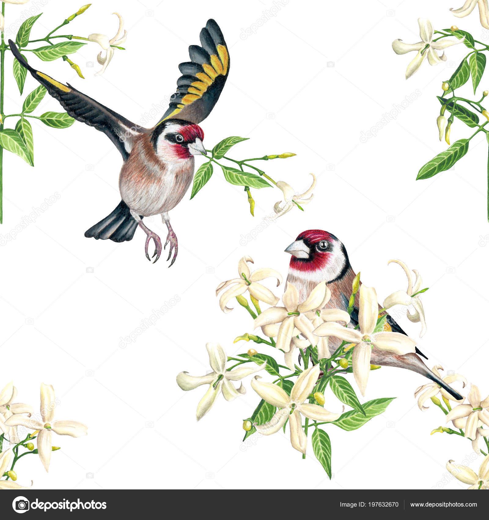 Aquarela Aves Pintassilgo Jasmim Flores Sem Costura Padrão Fundo ...