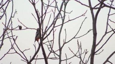 vörös hajú nagy fekete kakas forró teend