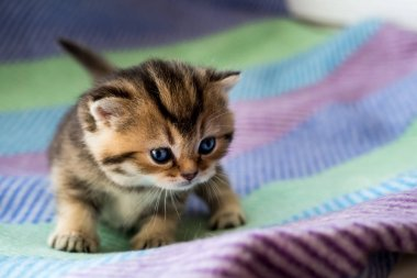 Little beautiful kittens striped color British breed