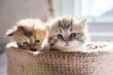 Little cute kittens of British breed in a knitted basket. Striped marble color.