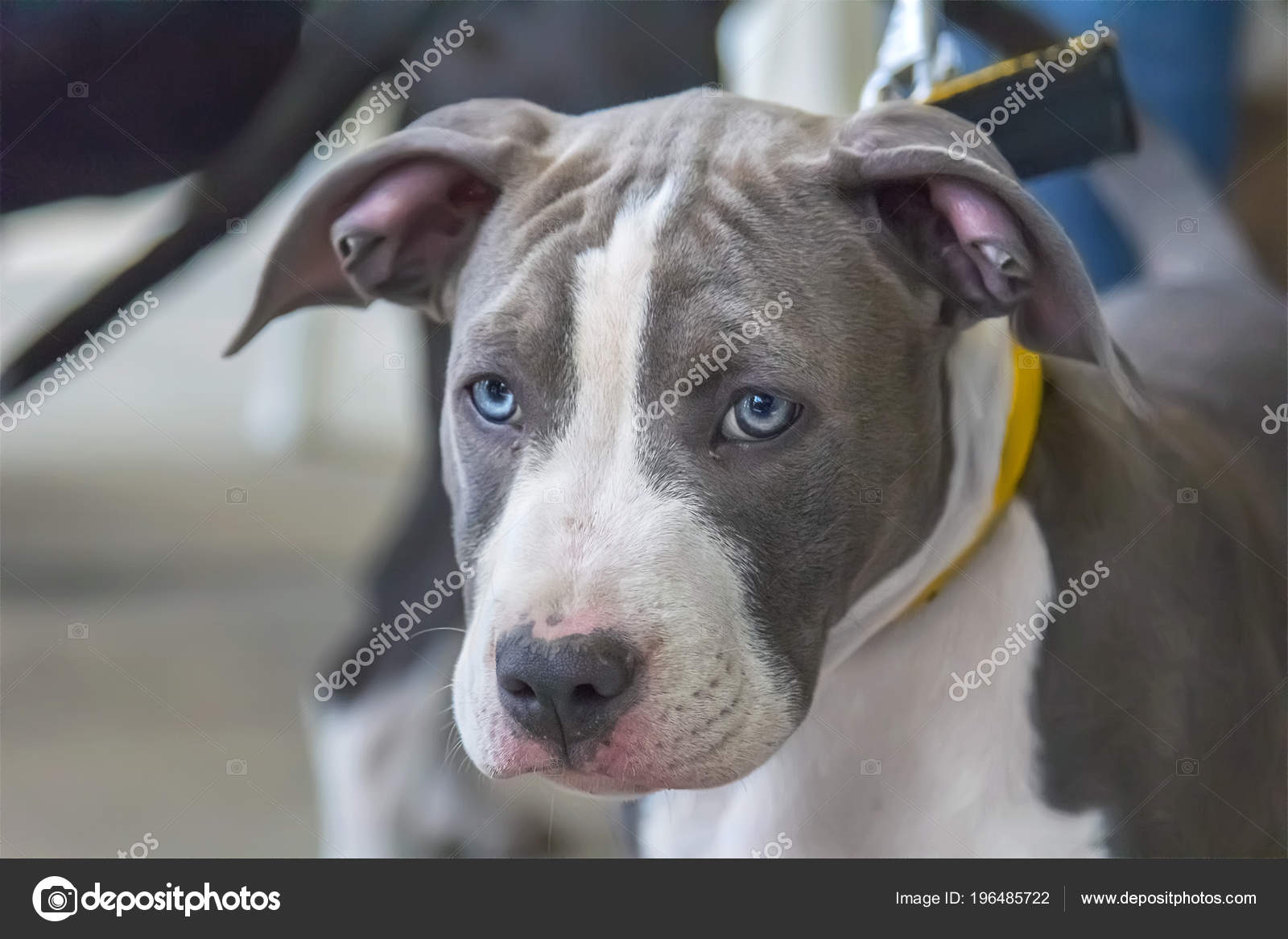 Blue staffordshire terrier puppies   Puppy Blue American