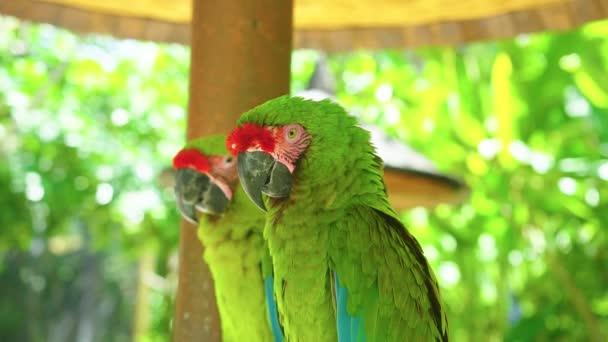 Barevný portrét páru zeleného papouška velkého zeleného Macawa proti džungli.