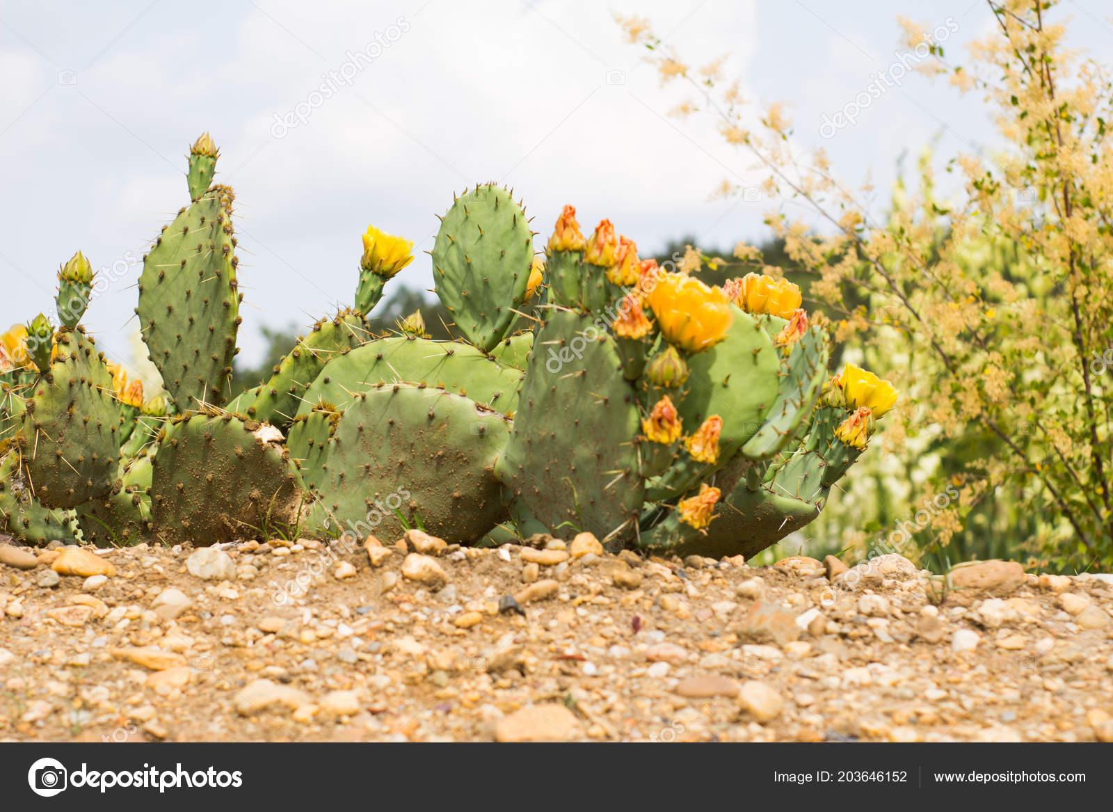 Succulents Natural Habitat Cactus Desert Outdoors — Stock