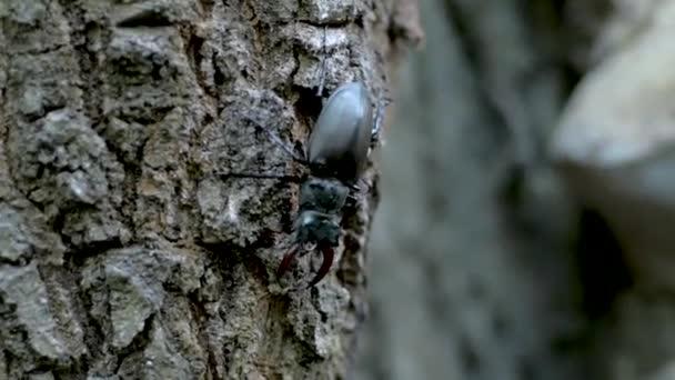 Hím szarvasbogár, a fa, zár-megjelöl-ból bogár szarvas-erdő