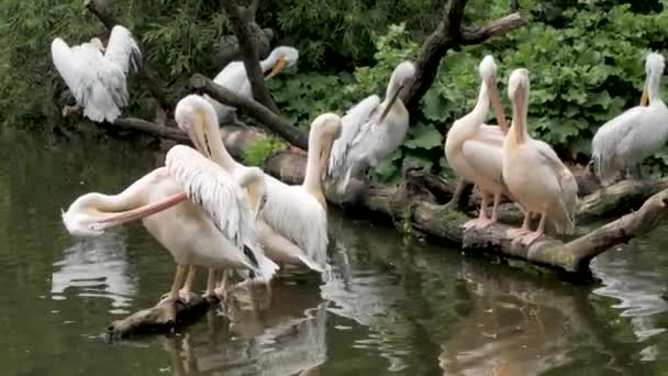 Gruppe von Pelikanen sitzt auf einem Baum in der Nähe des Flusses