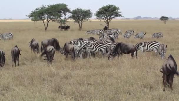 Zebra a pohyb pakoní v Serengeti, Tanzanie