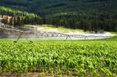Visualizzazione di un campo di mais irrigato da un sistema di irrigazione Pivot in una giornata di sole. Columbia britannica, Canada.