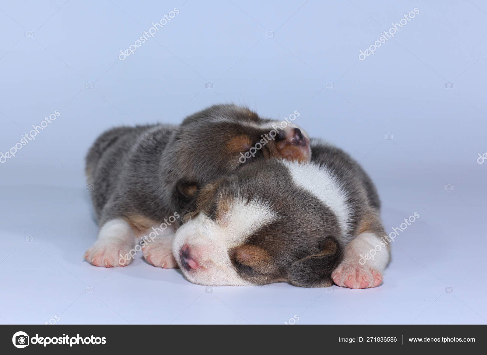 Silver Tri Color Beagle Puppy Sleeping Looking First Time Stock Photo C S Thanawathreborn Gmail Com 271836586