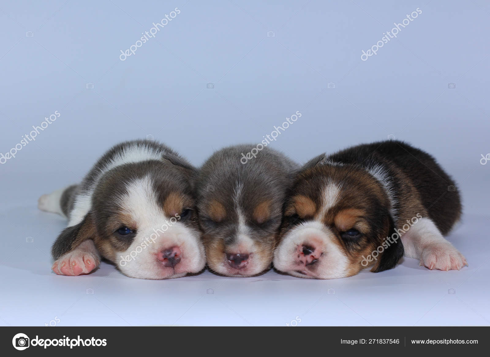 Silver Tri Color Beagle Puppy Sleeping Looking First Time Stock Photo C S Thanawathreborn Gmail Com 271837546