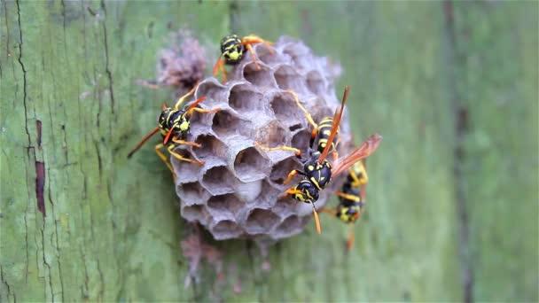 Die Wespenfamilie sieht auf ihrem Papiernest, wo Larven gezüchtet und gefüttert werden. Grün lackiertes altes Holz Hintergrund. Fürsorge für Nachwuchs, Schädlinge und stechende Insekten. Wildtiere in einem statischen Video. Reaktion auf Bedrohung.