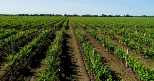 Champ De Vigne vue aérienne du champ de vigne en été — vidéo ronedya © #197769070