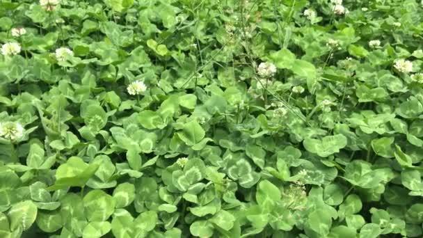 Clover na louce. Zelené životy na jaře překrývají listí. Ekologie a životní prostředí.