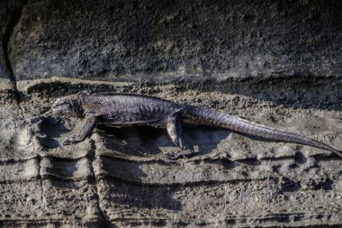 Amazing detail of scaly skin and claws of prehistoric looking Galapagos marine iguana, Amblyrhynchus cristatus, camouflaged against exposed rock face on the shoreline of these remote islands.