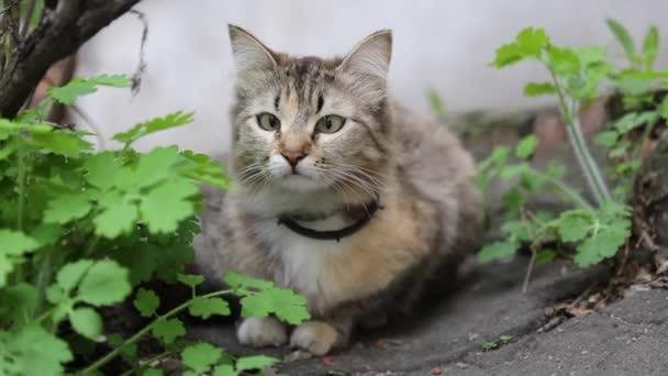 grau schielende lustige Katze trägt Halsband im Freien grünen Grasasphalt