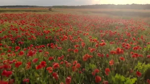 4K drone footage of flight over red field of poppies