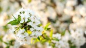 White flowers of cherry blossoms. Spring flowering closeup. Bunches of white cherry blossoms. Easter spring flowering. Cherry tree in white flowers. Spring blossom background. Beautiful spring card