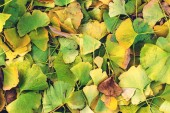 Fallen bright green and yellow ginkgo leaves. Ginkgo Biloba leaves background. Herbal medicine concept