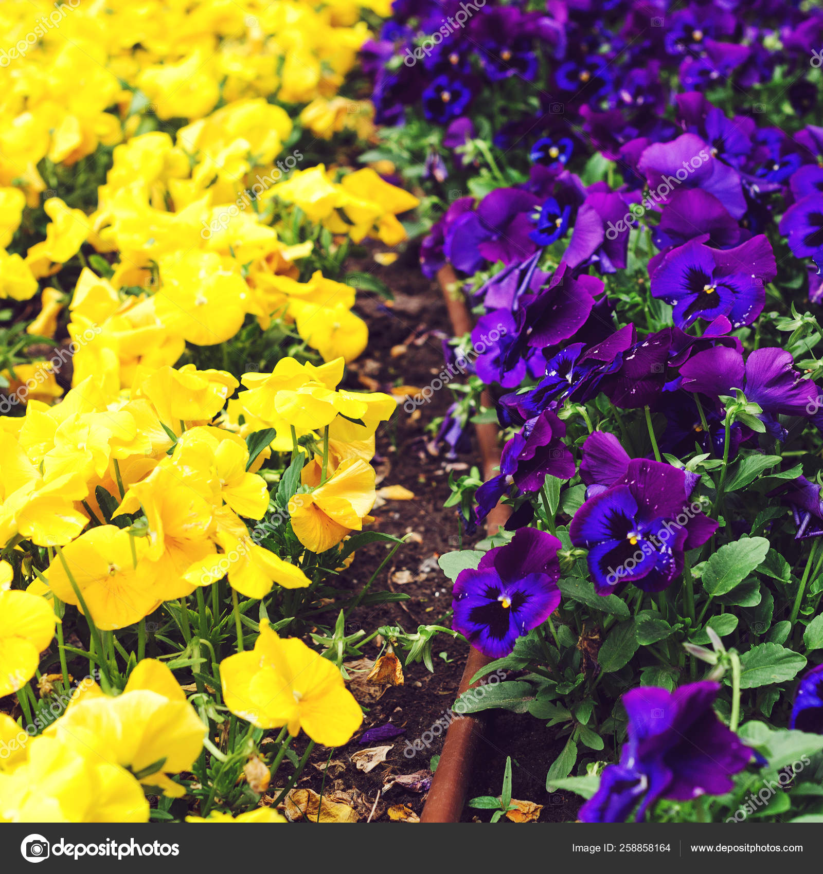 Flowerbed With Purple And Yellow Petunias Close Up Colorful Petunia Flower Petunia Hybrida In The Garden Stock Photo C Volurol 258858164