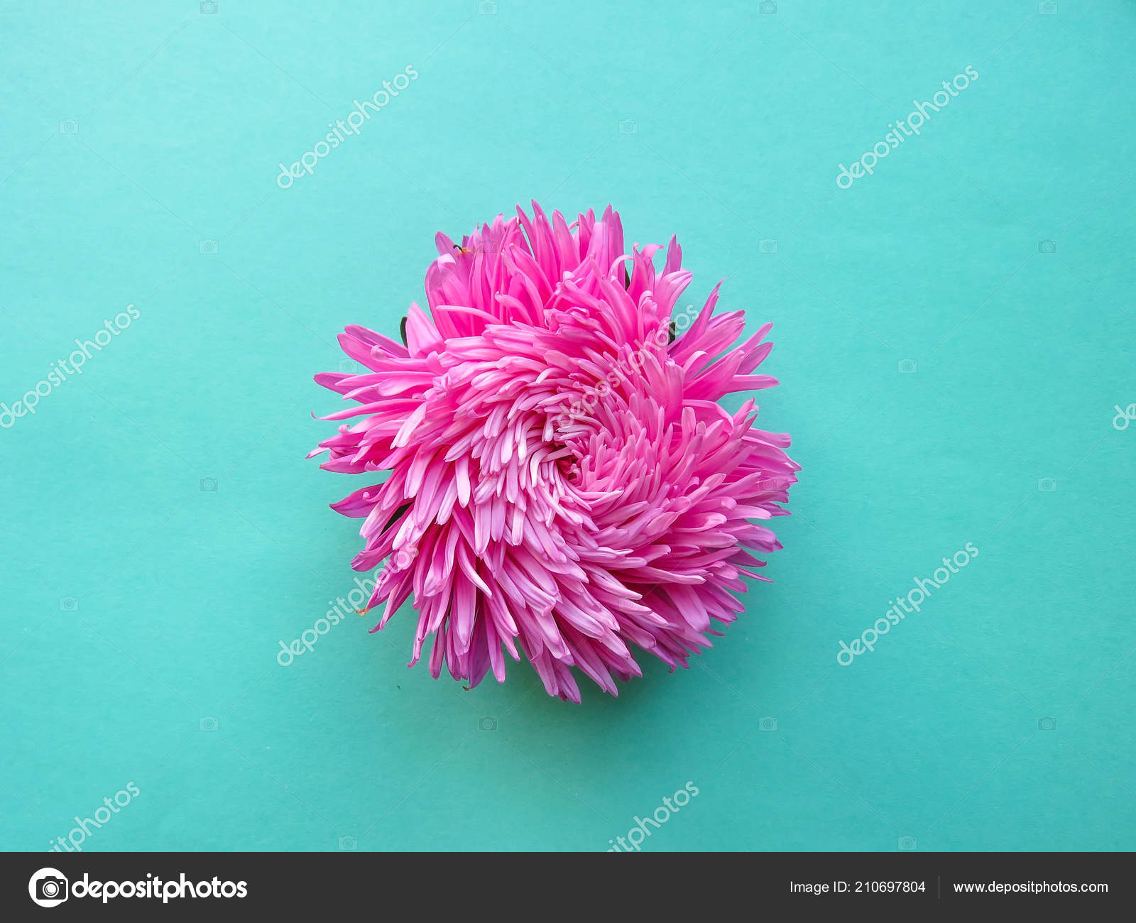 Pink Aster Flower Background Minimal Concept Top View Copy Space U2014 Stockfoto