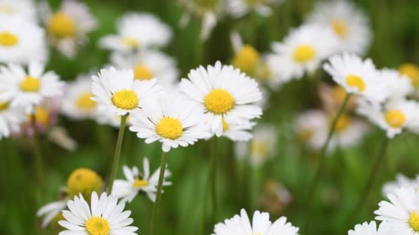 close up of beautiful daisies in the garden swaying in the wind. Soft focus. 4K Ultra HD Video