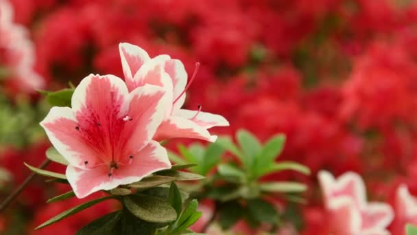 krásné růžové azalky (Rhododendron) květy na jaře.