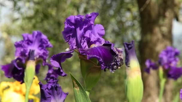 purple irises moving on the wind in a famous florence garden, Italy. 4K UHD Video footage, static camera. Nikon D500
