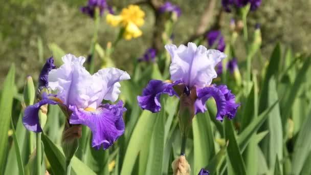 fialové kosatce, pohybující se na větru ve slavné garden Florencie, Itálie. 4 k Uhd Video záběry, statické kamery. Nikon D500