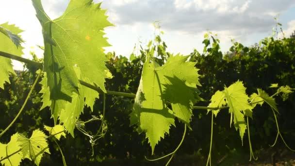 zelené vinné listy na vinici v letní sezóně. Toskánska v Itálii. 4 k Uhd videa Nikon D500
