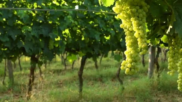 banda bílých hroznů v zelených vinic regionu chianti. letní sezóna, Toskánsko. Itálie. 4 k Uhd videa