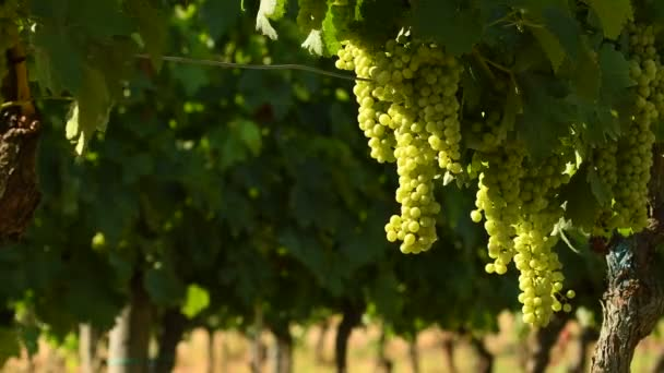 Trsy bílých hroznů vinice Chianti za slunečného dne. Toskánsko, Itálie. 4 k Uhd videa, Nikon D500.