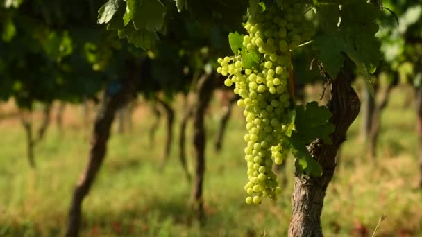 Bunches of white grapes in a Chianti vineyard on a sunny day. Tuscany, Italy. 4K UHD Video, Nikon D500.
