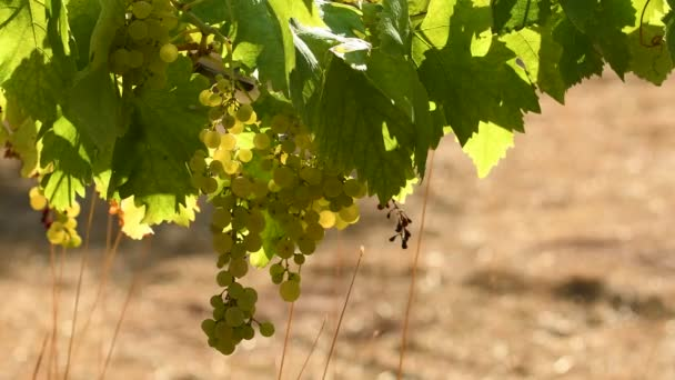 Trsy bílých hroznů vinice Chianti za slunečného dne. Toskánsko, Itálie. 4 k Uhd videí. Nikon D500