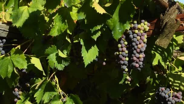 červené hrozny na vinice v regionu Chianti. Toskánsko, Itálie. 4 k Uhd videí. Nikon D500