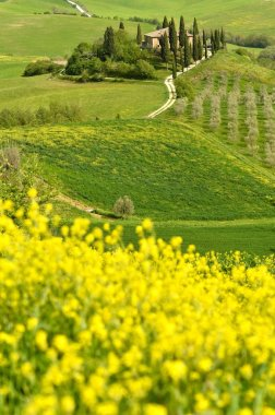 Pienza, Italy - April 24, 2018: Famous Podere Belvedere in spring season, in the heart of the Tuscany. Val d'Orcia. Beautiful yellow rape and canola flowers with the Villa Belvedere on background.