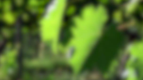 Rack összpontosítani zöld szőlő levelek egy szőlőültetvények Chianti régióban a vidék közelében Firenze. Olaszország. Makró felvétel, 4K UHD videó.