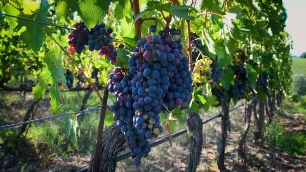 Krásná banda červených hroznů na vinici během letní sezóny v regionu Chianti. Toskánsko. Video UHD 4K.