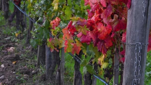 vörös szőlő levelek mozog a szél az őszi szezonban egy szőlő Toszkánában a Chianti régióban. 4K UHD videó.