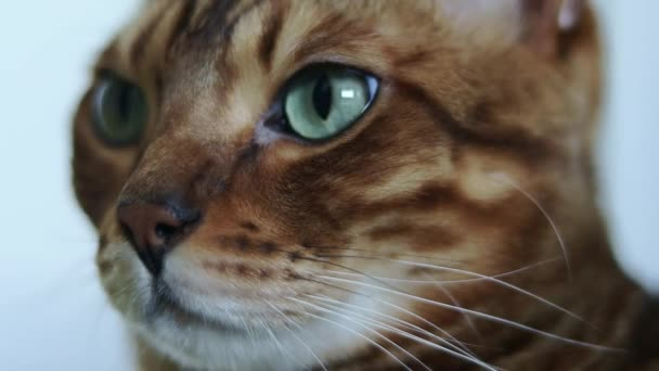 Blízký portrét nádherné hnědé čistokrevné bengálské kočky se zelenými očky.