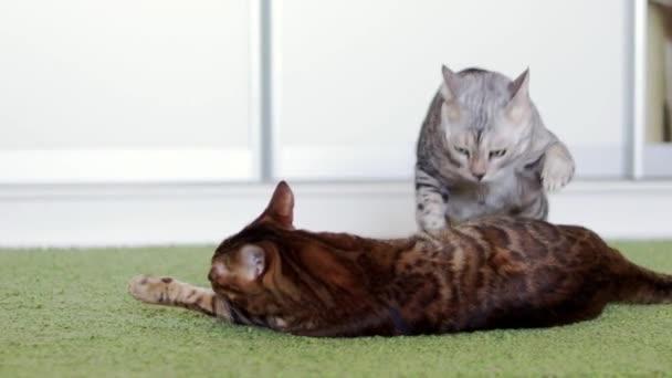 Krásní hnědí a šedivé kočky, hrající na zelený chlupatý koberec