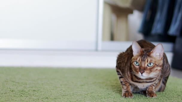Beautiful brown purebred Bengal cat lying on a green shaggy carpet indoor.