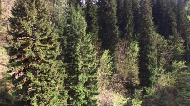pohled shora na jehličnatých stromech, které jsou stálezelené, fouká vítr větve