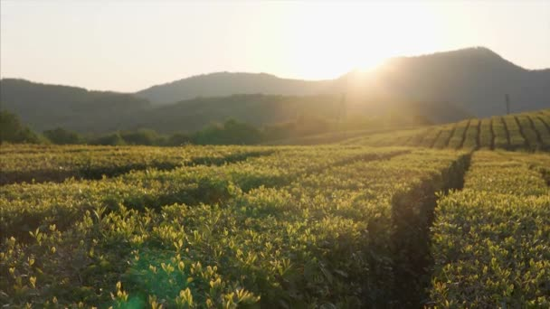 Landscape with tea plantations in summer sunset, sun is behind tops