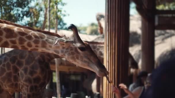 Barátságos zsiráf kezelés a turisták kezéből