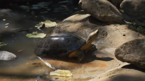 Kígyónyakú teknős a napon
