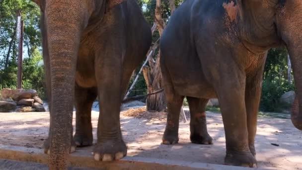 Asiatischer Elefant, Elephas maximus, Asiatischer Elefant im Zoopark