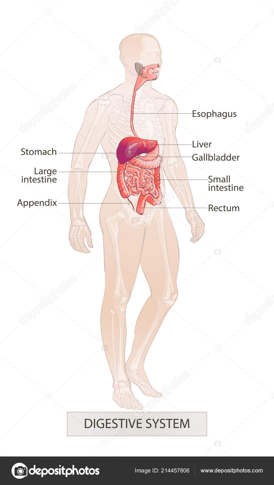 Digestive System Human Body Parts Man Anatomy Hand Drown Vector