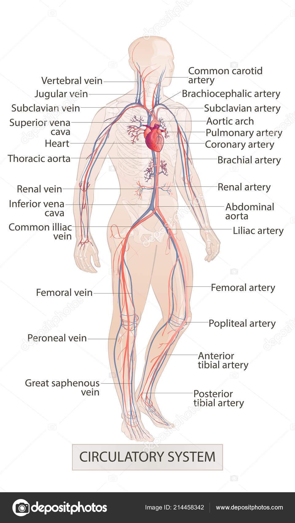 Anatomie De L Homme système vasculaire circulatoire. parties du corps humain. anatomie