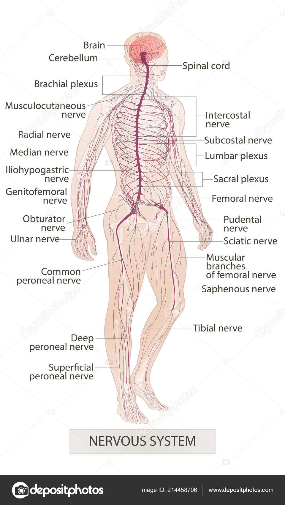 Nervous System Human Body Parts Man Anatomy Hand Drown Vector